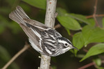 First spring male Black-and-white Warbler in mid-May on spring migration.