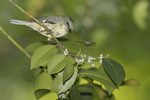 Adult female Black-throated Blue Warbler foraging in Holly in mid-May on spring migration.