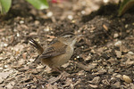 Marsh Wren on spring migration in mid-May.