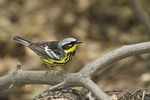 Male Magnolia Warbler in May on spring migration.