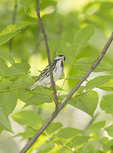 Male Blackpoll Warbler in late May on spring migration.