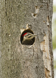 Nestling Pileated Woodpecker in early May.