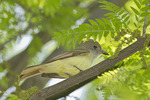 Great Crested Flycatcher in Honey Locust (Gleditsia triacanthos) in May.