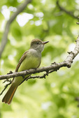 Great Crested Flycatcher in late May.