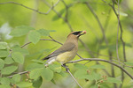 Cedar Waxwing eating a Shadbush (Amelanchier canadensis) berry in late May.