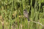 Eastern Kingbird in early June.