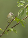 Adult Red-eyed Vireo in Black Cherry (Prunus serotina) in mid-June near the Green bench. Central Park. New York, NY.
