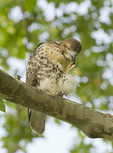 Juvenile Red-tailed Hawk scratching in mid-June, ten days after fledging.