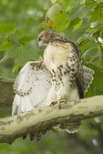 Juvenile Red-tailed Hawk stretches a wing in mid-June, ten days after fledging.