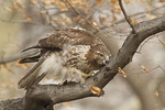 Immature Red-tailed Hawk cleaning its bill after eating a Rock Pigeon (Columba livia) in early March.