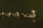 Female Wood Duck with ducklings in early June.