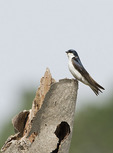Tree Swallow perched above its nest in a salt marsh in mid-June.