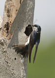 Tree Swallow delivers a Seaside Dragonlet (Erythrodiplax berenice) to its nest in a salt marsh in mid-June.
