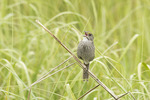 Seaside Sparrow singing in salt marsh in June.