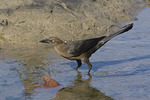 Female Boat-tailed Grackle.