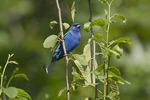 Male Indigo Bunting in late June.