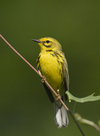 Male Prairie Warbler in late June.