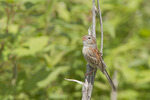 Male Field Sparrow singing in late June.