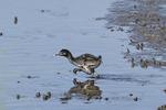 Clapper Rail chick running across a channel in a salt marsh in early July.