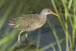 Clapper Rail in salt marsh in early July.
