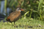Virginia Rail calling in early July.