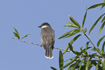 Eastern Kingbird in Willow Oak in mid-July.