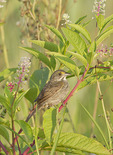 Seaside Sparrow perched in Pokeweed (Phytolacca americana) at the edge of a salt marsh in mid-July.