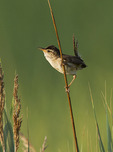 Marsh Wren singing in salt marsh in mid-July. 