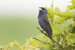 Singing adult male Blue Grosbeak in mid-July.