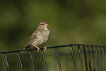 Juvenile Chipping Sparrow in mid-July.