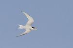 Least Tern in flight in early July.