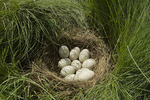 Mallard nest in salt marsh. 
