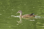 Juvenile male Wood Duck in late July.