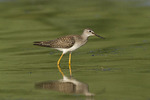 Juvenile Lesser Yellowlegs in late July.