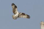 Adult female Osprey landing near the nest in mid-July.
