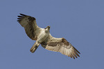 Adult female Osprey in flight in mid-July.