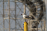 Gray-hooded Gull perched near the Wonder Wheel. August 2, 2011.