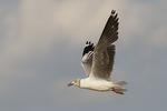 Gray-hooded Gull in flight. August 2, 2011.