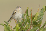 Singing adult Grasshopper Sparrow in early August.
