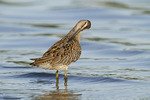 Juvenile Short-billed Dowitcher preening in mid-August.