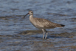 Whimbrel in late October.