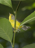 First fall female Canada Warbler in late August on fall migration.