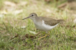 Juvenile Spotted Sandpiper forages on a lawn in early September.
