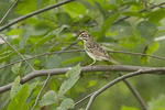 First fall Lark Sparrow in mid-September on fall migration.
