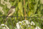 Eastern Phoebe perched on a fence in late September on fall migration.