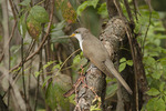 Immature Yellow-billed Cuckoo in early October on fall migration.