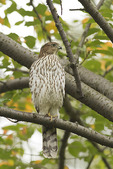 Immature male Cooper's Hawk in mid-October on fall migration.