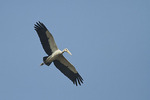 Asian Openbill in flight near Lumbini, Nepal.