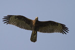 Immature Oriental Honey-buzzard in flight.