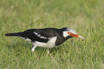 Asian Pied Starling foraging on a lawn.